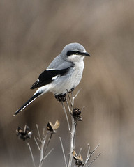 Northern Shrike_Magee Marsh (Thomas Muir) Tags: laniusborealis mageemarsh lakeerie ottawacounty oakharbor songbird passerine predator nikon d850 600mm wildlife bird birdwatching outdoor causeway ohio midwest northamerica hunting laniusexcubitor
