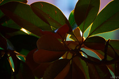 Magnolia (เฮลีนา่) Tags: leaf leaves green colorful nature natural plant plants closeup close up purple blue
