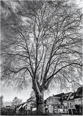 Mighty Tree in Town... (Ody on the mount) Tags: anlässe blackwhite bäume em5iii fototour kunst mzuiko124028 omd olympus pflanzen zweige art bw blackandwhite branches fineart miraclesofcreation monochrome sw savingtheclimatebytrees schwarzweis tree waldkirch badenwürttemberg deutschland