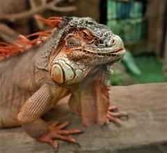 the modern day dragon (SM Tham) Tags: asia southeastasia malaysia perak ipoh tambun thelostworldoftambun pettingzoo reptile lizard iguana animal portrait
