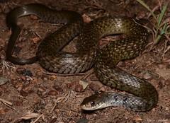 Keelback Snake (Tropidonophis mairii). Adelaide River, NT (Jesse`s Wildlife) Tags: darwinherping australianwildlife nature fauna jessecampbell jesse'swildlife reptiles herping snake freshwatersnake colubrid tropidonophismairii keelback