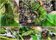 Large green caterpillar on the lemon tree (Aussie~mobs) Tags: orchardcaterpillarbutterfly caterpillar grub citrusswallowtailcaterpillar brisbane pest garden queensland australia lemontree citruspest feet