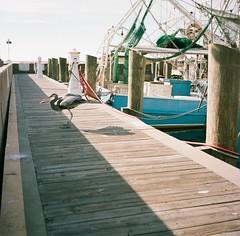 Blue Herron (MFBodisch) Tags: blue herron commercial fishing biloxi mississippi usa gulf coast rolleicord va kodak portra 160 medium format 120 film