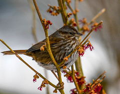 Musing (wesleybarr1962) Tags: sparrow songsparrow melospizamelodia