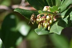 Abeja en flores de madroño (esta_ahi) Tags: huesca cañóndeañisclo madroño arbutusunedo arbutus unedo ericaceae flor flora flores arbustos silvestres abeja hymenoptera insectos fauna aragón spain españa испания