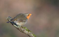 Jojo (Guillaume Dardant) Tags: nature sauvage oiseaux bird passereaux loiret bois forêt d850 500mmf4 nikon rougegorge jojo erithacusrubecula muscicapidés europeanrobin passériformes affût