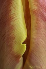 Trying to look inside (aenee) Tags: aenee sigma105mm128dgmacrohsm nikond7100 tulip tulp flowers macro springflowers voorjaarsbloemen red rood rouge rot yellow geel jaune pse14 20200117 dsc6354