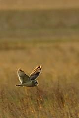 DSC02778 - Short eared Owl (steve R J) Tags: short eared owl wallasea island rspb reserve essex birds british