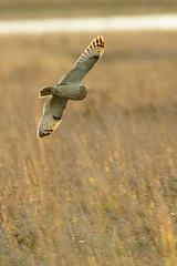 DSC02776 - Short eared Owl (steve R J) Tags: short eared owl wallasea island rspb reserve essex birds british