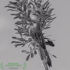 the nectar hunters - a little wattlebird (Fat Burns ☮) Tags: littlewattlebird anthochaerachrysoptera honeyeater wattlebird bird australianbird fauna australianfauna nikond500 nikon20005000mmf56vr kakadunaturereserve banksiabeachlbribieisland nature outdoors
