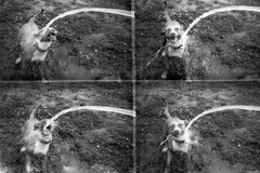 Tay the water dog (ricoinflorida) Tags: filmphotographyproject derevpan 400 lomography actionsampler