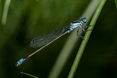 Blue tailed damselfly shot on a sun zoom lens 85-210mm macro with additional macro tubes (Ron Hook) Tags: sunzoomlens sunzoomlens85210mm macro dragonfly damselfly bluetaileddamselfly vintagelens insect