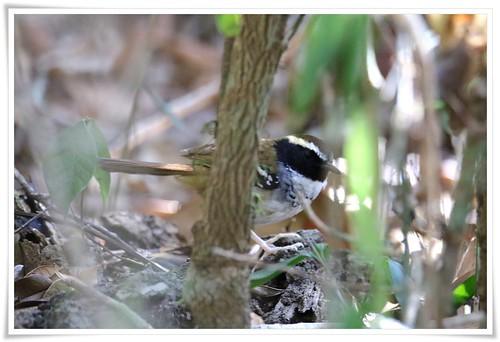 White-bibbed Antbird@Pucoes_191113_2