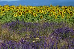 P1140818 (alainazer) Tags: valensole provence france fiori fleurs flowers fields champs ciel cielo sky colori colors couleurs lavande lavanda lavender tournesol girasole sunflower