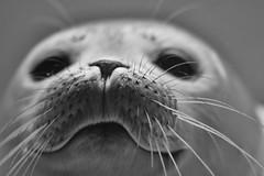 Seehundbart (grasso.gino) Tags: tiere animals natur nature sehhund seal sehundstation norddeich nikon d7200 schwarzweis monochrome nahaufnahme closeup