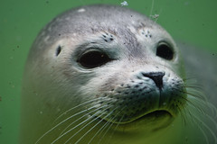 Seehund (grasso.gino) Tags: tiere animals natur nature sehhund seal sehundstation norddeich nikon d7200