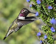 Latitude 36 (delphinusorca) Tags: hummingbird annashummingbird pacificgrove california nikon200500f56