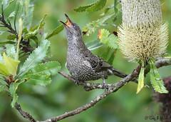 Brush Wattlebird (Anthochaera chrysoptera) (Greg Miles) Tags: brushwattlebird littlewattlebird anthochaerachrysoptera calga newsouthwales australia