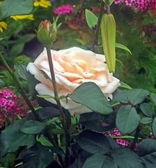 Роза (lvv1937) Tags: flickritiswhere81000peoplearestillhappilyinfected flickrinfullcolor coloursofflickr beautifullight amateurs afeastformyeyespublicgroup цветы роза