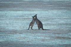 _KP_9967_picc-Edit.jpg (Noelpolar) Tags: kangaroo island
