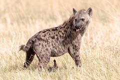 Hyena (Thomas Retterath) Tags: nature natur 2019 nopeople safari wildlife okavangodelta botswana africa afrika khwai spottedhyena tüpfelhyäne hyäne raubtiere predator carnivore säugetier mammals animals tiere crocutacrocuta