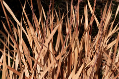 Drought (Erich Schieber) Tags: australia botany plants dead