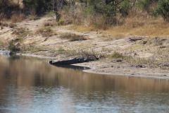 Crocodile on the River Bank (Rckr88) Tags: krugernationalpark southafrica kruger national park south africa crocodile river bank crocodileontheriverbank crocodiles croc crocs water reflection reflections rivers riverbank lake lakes dam dams nature naturalworld outdoors travel travelling