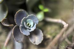 succulent (Rifat J. Eusufzai) Tags: succulent plants closeup macro nikon d7100 yongnuo yn35mm raynox m250 dhaka bangladesh