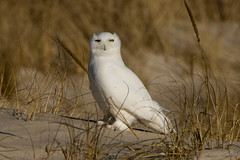 Male Snowy Owl (aliciaambers) Tags: newyork beach nature sunrise wildlife dunes longisland owl jonesbeach snowyowl hedwig