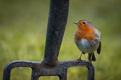 The perfect perch (jillyspoon) Tags: robin robinredbreast gardenfork gardenbird metalfork depthoffield dof