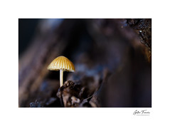 The dark side of the woods (g.femenias) Tags: mycena mushroom fungus trunk log nature naturallight lowkey dark darkness macro macrophotography bonany petra mallorca