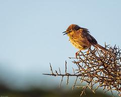 Karoo Prinia/Prinia maculosa, slow awaking, still wet. (odileva) Tags: bird sunrise oiseaux westerncape southafrica hiver nature paternosternaturereserve
