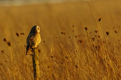 DSC02660 - Short eared Owl (steve R J) Tags: short eared owl wallasea island rspb reserve essex birds british