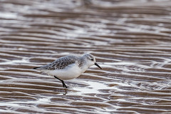 Sanderling (pstani) Tags: england essex europe greatbritain scolopacidae waltononthenaze bird fauna sanderling sandpiper wader