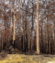 Burnt trees 2 poster edges (caralan393) Tags: bushfire fire trees texture brown burnt
