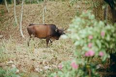 Chill cow (wargreymoni) Tags: colorplus200 kodak minoltacle voigtlander40mmf14 film rangefinder