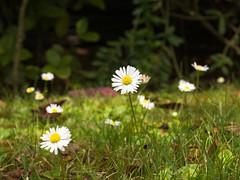 Margarita (Bellis perennis). (Andres Bertens) Tags: 3339 olympusem10markii olympusomdem10markii olympusm45mmf18 olympusmzuikodigital45mmf18 rawtherapee flower margarita bellisperennis