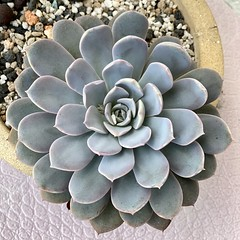 Succulents (Kenny Song) Tags: plants succulents