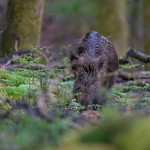 Wild Boar at the Forest of Dean