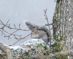 Let it Snow...Pic #7 (Picture-Perfect Pixels) Tags: nikkor200500mm nikonz50 britishcolumbia garryoaktree saanich vancouverisland animal backyard easterngreysquirrel nature wildlife