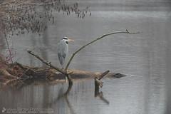 Grey Heron (Christian Birzer) Tags: sitzen reiher nebel winter see wasser tier natur baum tierwelt draussen spiegelung jahreszeit graureiher naturschutz ast landschaft vogel herbst ngc