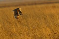 DSC02671 - Short eared Owl (steve R J) Tags: short eared owl wallasea island rspb reserve essex birds british