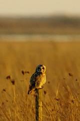 DSC02658 - Short eared Owl (steve R J) Tags: short eared owl wallasea island rspb reserve essex birds british