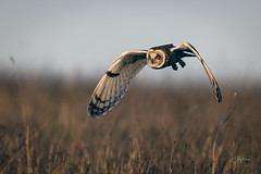 Shortie close up (andy_harris62) Tags: wild wildlifephotography nikond850 nikon nikkor500mmf4 nature naturephotography shortie shortearedowl owl outdoors outside bird birdofprey birdinflight bif