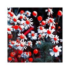 Blossoms (b_kohnert) Tags: digitalart digitalpainting painting nature plants macro blossoms outdoor