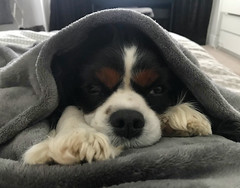 Pippa keeping warm (JoKenworthy71) Tags: dog cute cozy warm chilling lazy blanket spaniel cavalier paws cavalierkingcharlesspaniel snuggles cavalierkingcharles tricolorcavalier bed