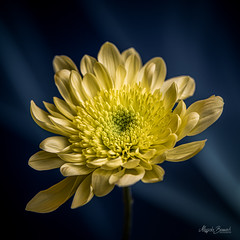 Yellow flower (Magda Banach) Tags: nikond850 blue bluebackground colors delicacy delicate flora flower green macro nature plants subtlety yellow