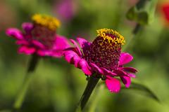 Alto Adige Italia Nature Outdoor sunny day 17092019 627''# (Dirk Buse) Tags: flora blüte südtirol alto adige natur outdoor farbe color colour pflanze mft m43 mu43