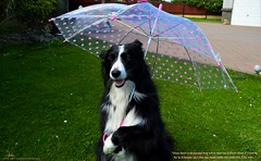 No excuse now not to take me Walkies (ashaconnie) Tags: funny border collie dog umbrella caption ashathestarofcountydown connie kells county down photography