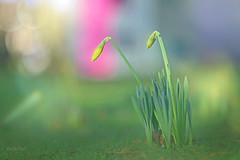 Waiting... (KissThePixel) Tags: daffodil daffodils bokeh bokelicious winter flora winterflora garden meadow depthoffield dof dofalicious dreamy january longacremanor kissthepixel nikon nikondf 70200mm sigma70200mm sigmamacro70200mm sigma sigmamacrolens f28
